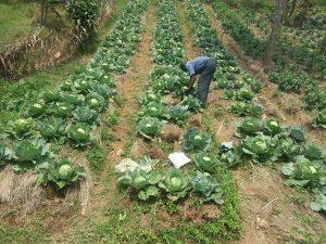 Bukobacommunity garden harvest